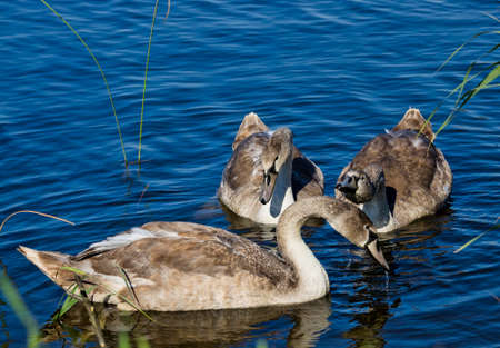 the family of young swans on the shore of the lake in the summer, the swans have already grown, but the feathers are gray 版權商用圖片