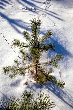 covered with snow young pine trees in winter, white snow lies on the tree, cold temperature and plant details in icy