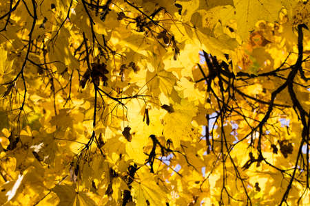 bright yellow foliage of maple in the autumn season, details of tree branches close up, illuminated by the sun light