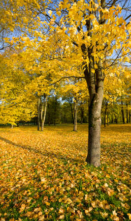 autumn landscape with tall trees, yellow foliage, sunlight illuminates the park, autumn changes in nature