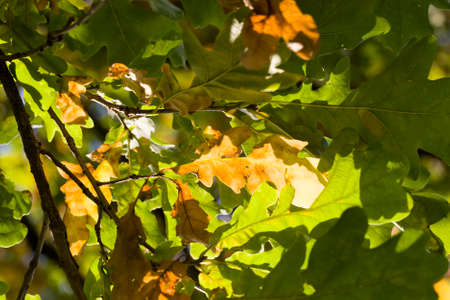 green oak foliage among which appear the first autumn leaves of orange color, closeup of real live tree in the autumn season