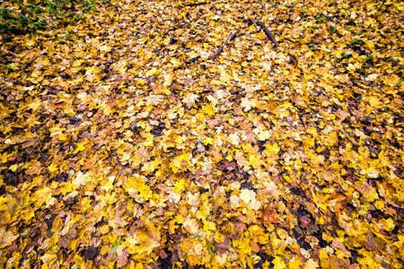 yellow dirty foliage of deciduous trees fallen on the ground in autumn, abstract background in cloudy weather, dull autumn colors