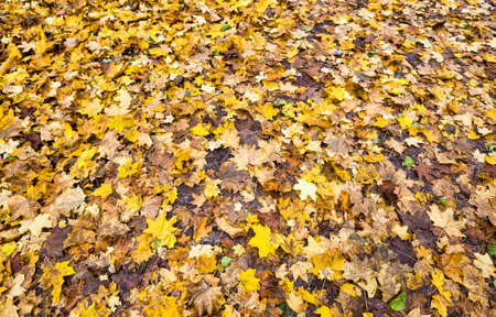 colored abstract background of real foliage on the ground after leaf fall close-up in nature foliage begins to rot