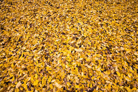 abstract background of autumn yellowed foliage in the forest, beautiful real nature