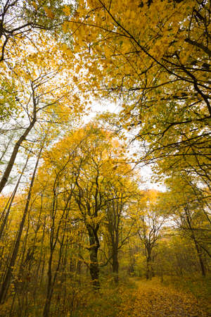 photo below the yellow autumn foliage in the forest with young trees, the real autumn season tops of tall trees Фото со стока