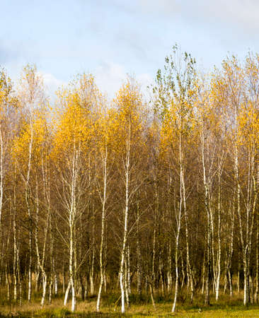 autumn landscape with bright yellow-golden Birch foliage against a blue sky, natural nature Фото со стока