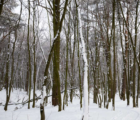 covered with fluffy white fresh snow forest in winter, landscape in cold frosty winter conditions 写真素材