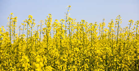 beautiful yellow rapeseed flowers in the spring season, beautiful nature and pleasant aromas from the field with rapeseed, agriculture