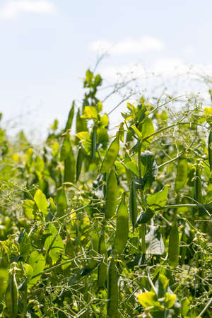 field with green peas and pods in an agricultural field, close-up