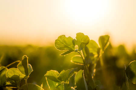 a real agricultural field in which agricultural activities are carried out to produce a large crop of clover for livestock 写真素材