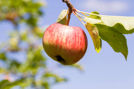 wormy apples of small size on the branches of a tree, home harvest in the orchard, against the sky