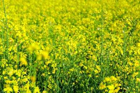 green leaves and yellow flowers of rapeseed cucumber growing in agricultural field. Photographed close-up with shallow depth of field. 写真素材