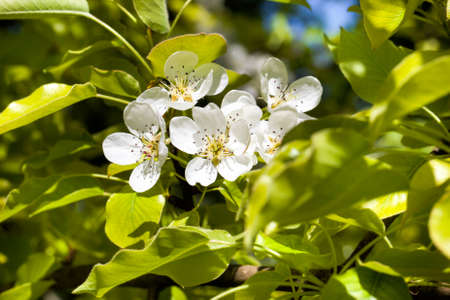 blossoming real color fruit trees in the springtime in the garden, close-up and details of plants in bloom on a background of green foliage