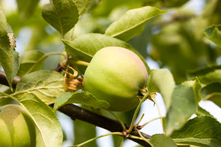 apples on the branches of the tree, the crop of apples on the branches of Apple trees in the orchard