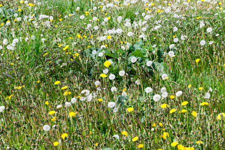 pasture with grass and with beautiful live yellow dandelions in the spring season, beautiful real nature in the countryside