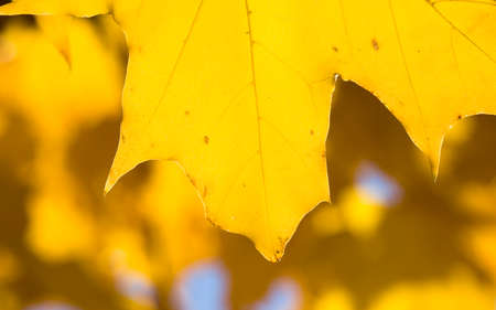 a large number of yellow maple leaves on the branches of an old tree, early autumn, September or October in the Park, Sunny day, maple leaves to large-scale leaf fall