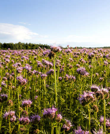 there is a field on which purple flowers grow to obtain honey from them near the apiary, close up Banco de Imagens
