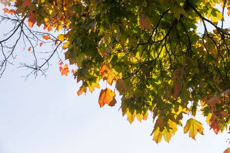 a large number of green and yellow with red maple leaves on the branches of the old maple tree, early autumn in the Park, Sunny day, maple leaves on the branches to large-scale leaf fall