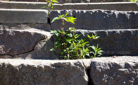 green grass sprouted on the old stone staircase, which began to deteriorate over time, close-up of the structure and plants