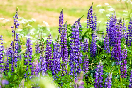 blue lupine wildflowers in a field with green grass, spring or summer
