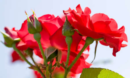 red Bush roses growing and blooming in spring or summer, details and close-up of plants