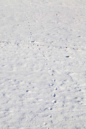 footprints and paw prints of animals in the snow in winter, wild or domestic animals in nature during frosts and colds