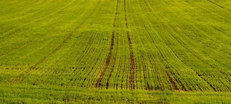 this agricultural field in which agricultural activities are carried out to obtain a large crop of wheat, young green