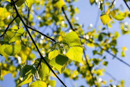 birch leaves illuminated by sunlight in the spring season, real natural birch foliage