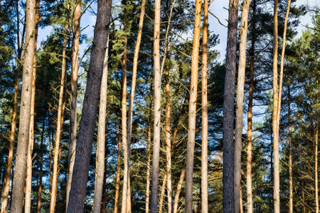 tall pine trees growing in the forest, illuminated by sunlight