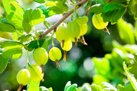 this is the territory on which activities are carried out to obtain a crop of gooseberries