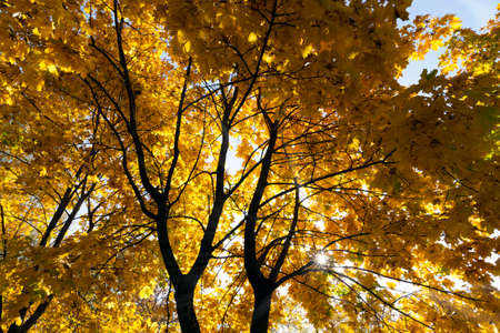 yellowing and color changing leaves on the trees in autumn, nature in autumn Banco de Imagens
