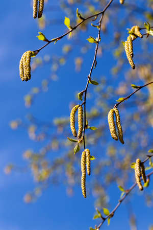 a real birch tree with catkins in the spring, a close up of a birch tree in the spring