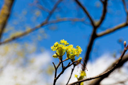 beautiful spring maple tree during spring flowering, close-up of maple with flowers, spring weather Banco de Imagens