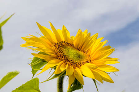 flower of a beautiful yellow annual sunflower in the field, farming for growing sunflower oil crops in Europe on the background of the sky