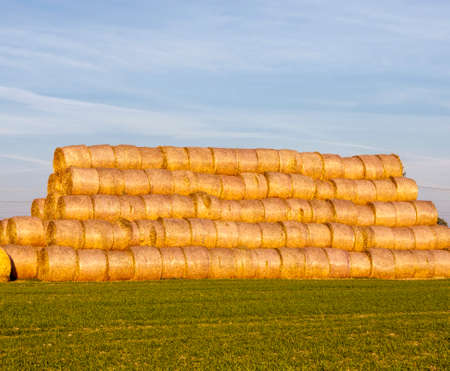 cylindrical straw stacks on an agricultural field, organization of straw storage in agriculture, blue sky