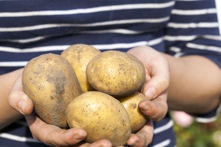 agricultural field where potato crop 版權商用圖片