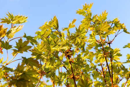 maple leaves in autumn, seasonal changes in nature