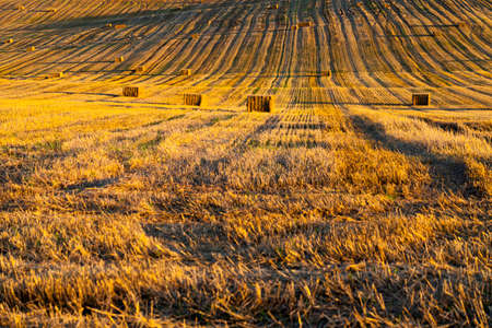 agricultural field with Golden dry wheat stalks, getting a large crop of cereals