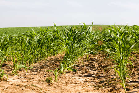 green corn sprouts in spring or summer, corn on an agricultural field, corn grains are used both for cooking food, livestock feed, and for the production of ecological biofuel ethanol, landscape