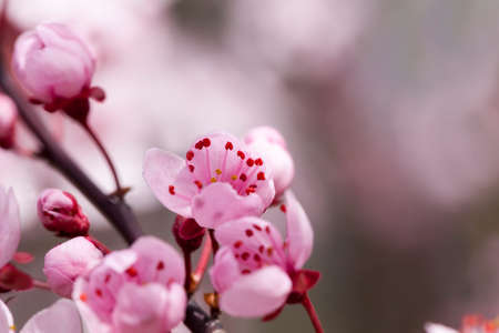 bright beautiful flowers of red cherry blossom in the orchard, beautiful pink flowers in spring or summer, cherry blossom cherry blossoms, closeup 스톡 콘텐츠