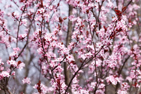 beautiful illuminated by sunlight fresh cherry blossoms in the spring season, cherry flowers of unusual pink color with a small depth of field, decorative trees during blooming in the garden, close-up