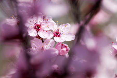 beautiful illuminated by sunlight fresh cherry blossoms in the spring season, cherry flowers of unusual pink color with a small depth of field, decorative trees during blooming in the garden 스톡 콘텐츠