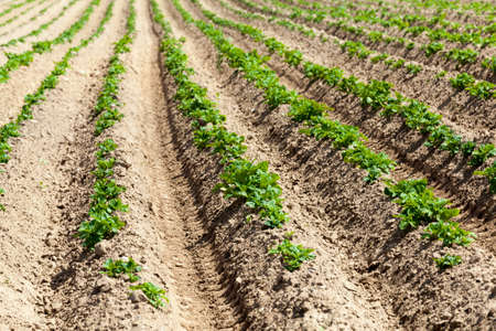 potatoes are grown on an agricultural field, farming as a type of activity and business, high-quality selection of potato varieties to obtain the largest possible yield of food 스톡 콘텐츠