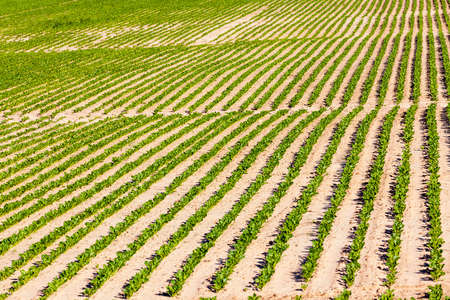 beets in the agricultural field, agriculture as a type of activity and business, high-quality selection of beet varieties for obtaining the largest possible yield of food and industrial sugar production