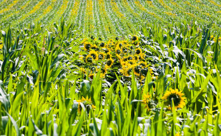 corn and sunflowers in the agricultural field 스톡 콘텐츠