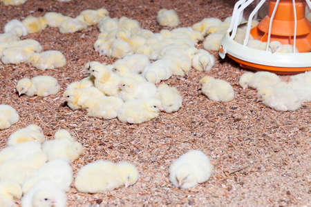 young broiler chickens