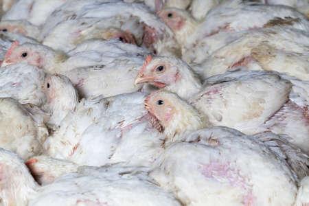 chicks of white broiler chicken 스톡 콘텐츠