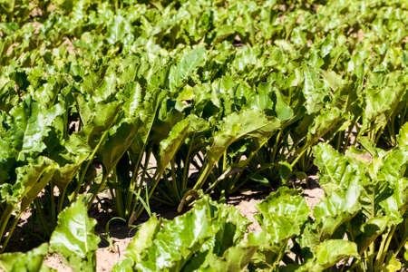 sugar beet are grown