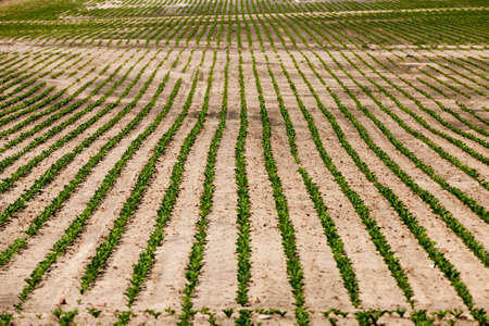 agricultural field where breeding beet varieties are grown 스톡 콘텐츠