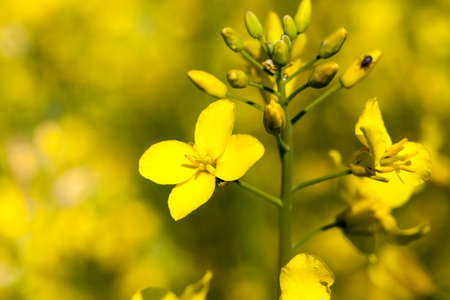 yellow-blooming rapeseed in an agricultural field